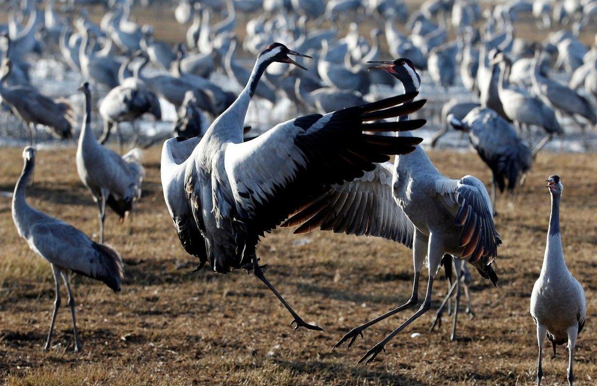 Журавли на озере Хула / Фото REUTERS