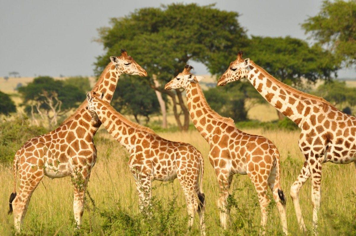 Жирафов включили в список видов, которым грозит вымирание / theverge.com