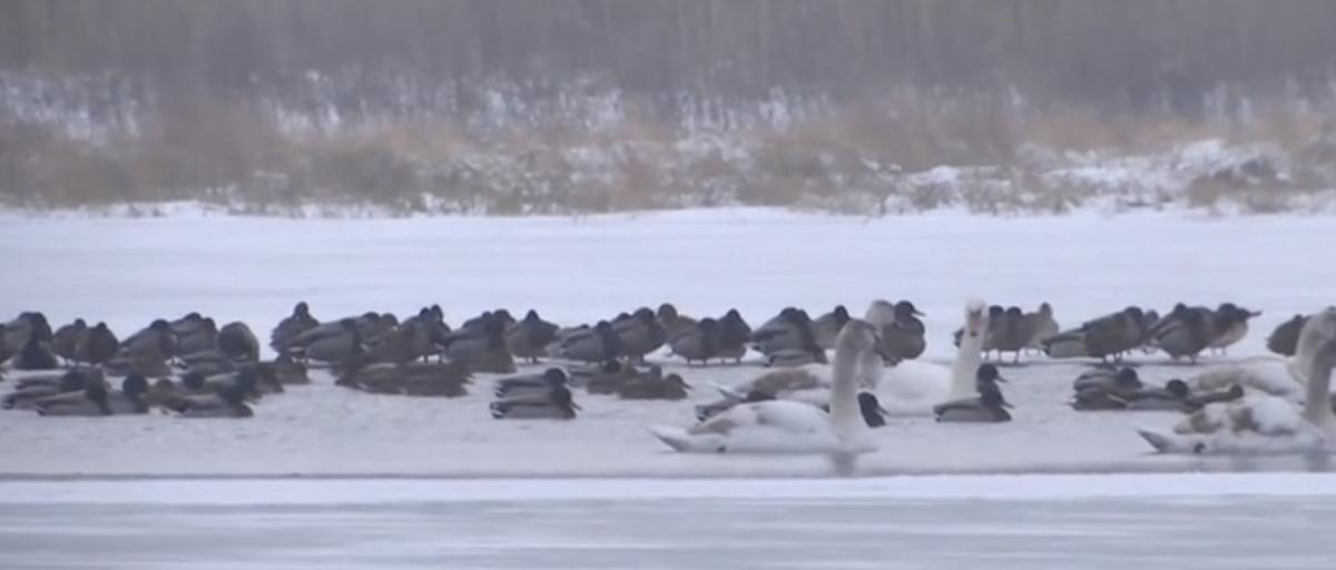 Лебедів врятували / Скріншот