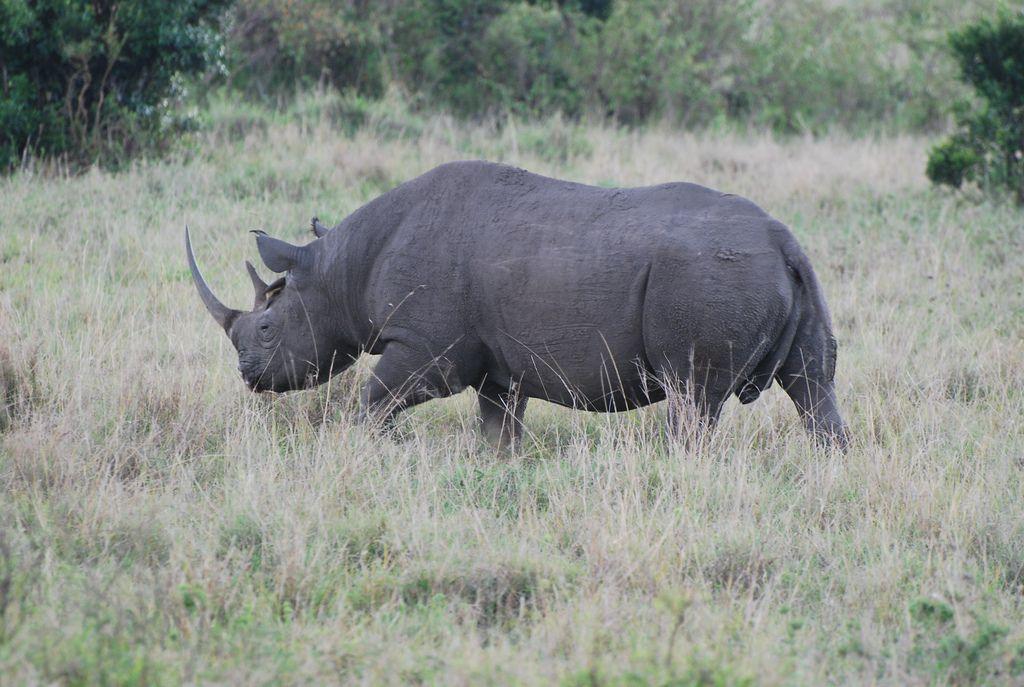 Носорога ищут живым или мертвым / Фото Andrew Osborne via flickr.com