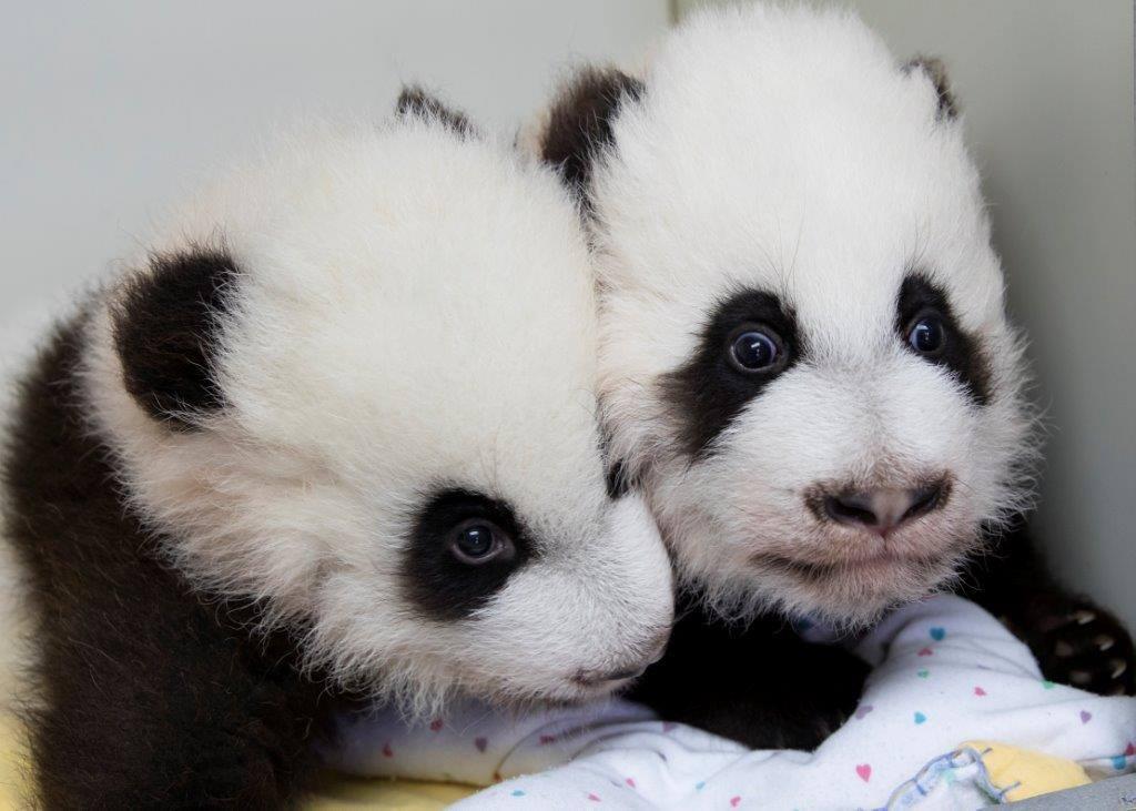 Панди-близнюки із зоопарку Атланти / facebook.com Zoo Atlanta