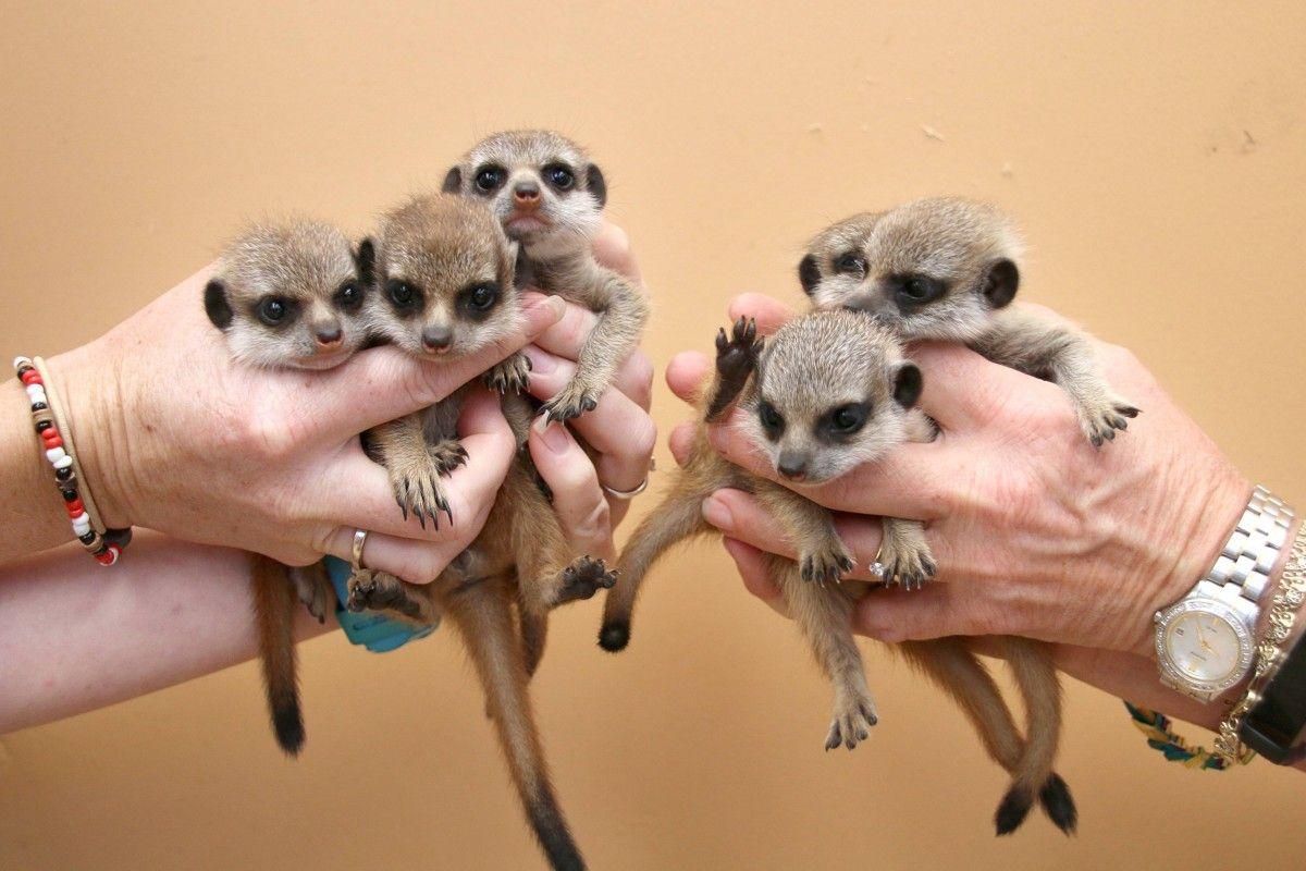 В австралийском зоопарке показатели детенышей сурикатов / taronga.org.au