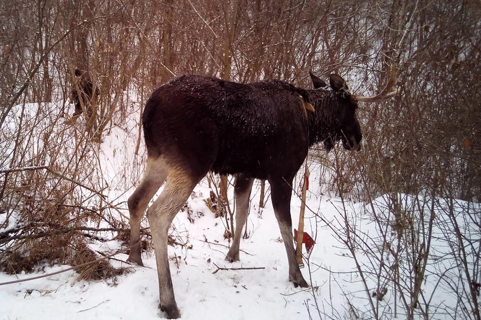 Поранених того разу молодих лосів знайшли у лісі / facebook.com/MNS.GOV.UA