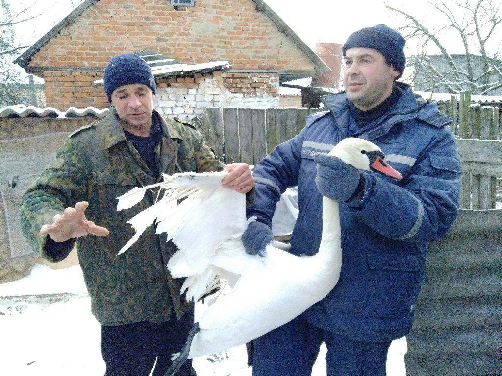 Когда придет весна, лебедей отпустят на свободу / facebook.com/MNS.GOV.UA