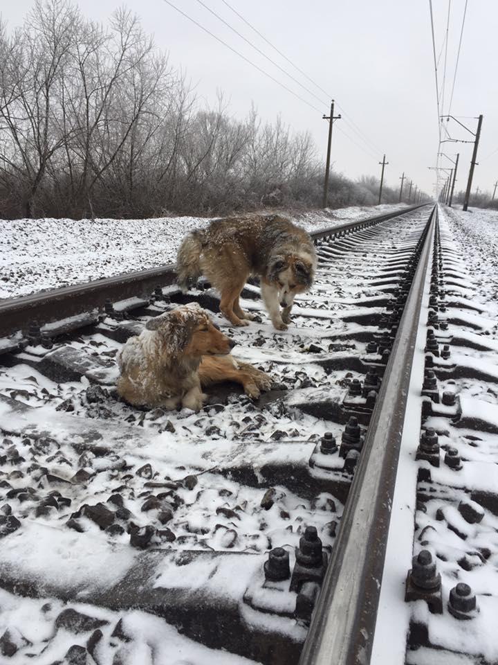 пес двое суток прикрывал собой раненую собаку на железнодорожном пути / facebook.com/den.podolchak