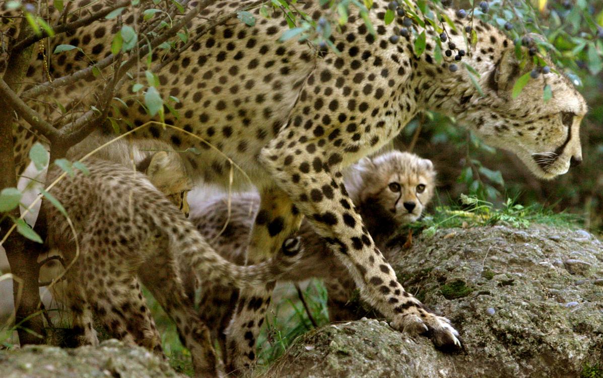 Гепарды на грани вымирания / REUTERS