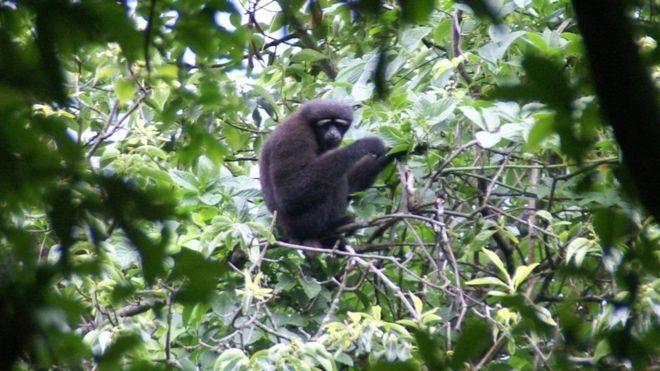 Новий вид приматів схожий на мешкають в джунглях Азії белобровых гібонів хулоков / SAM TURVEY