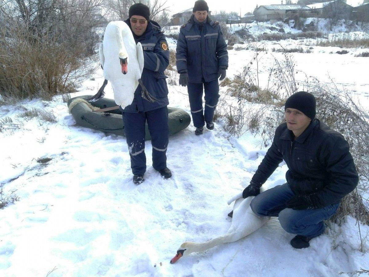 Лебеді примерзли на відстані 30 м від берега / Управління ДСНС у Житомирській області