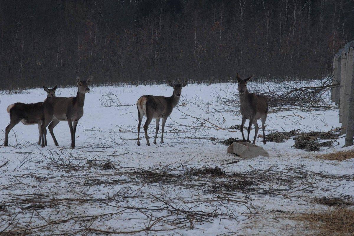 Родина оленів у Галичі / Фото facebook.com/EcoHalychWildlifeRehab