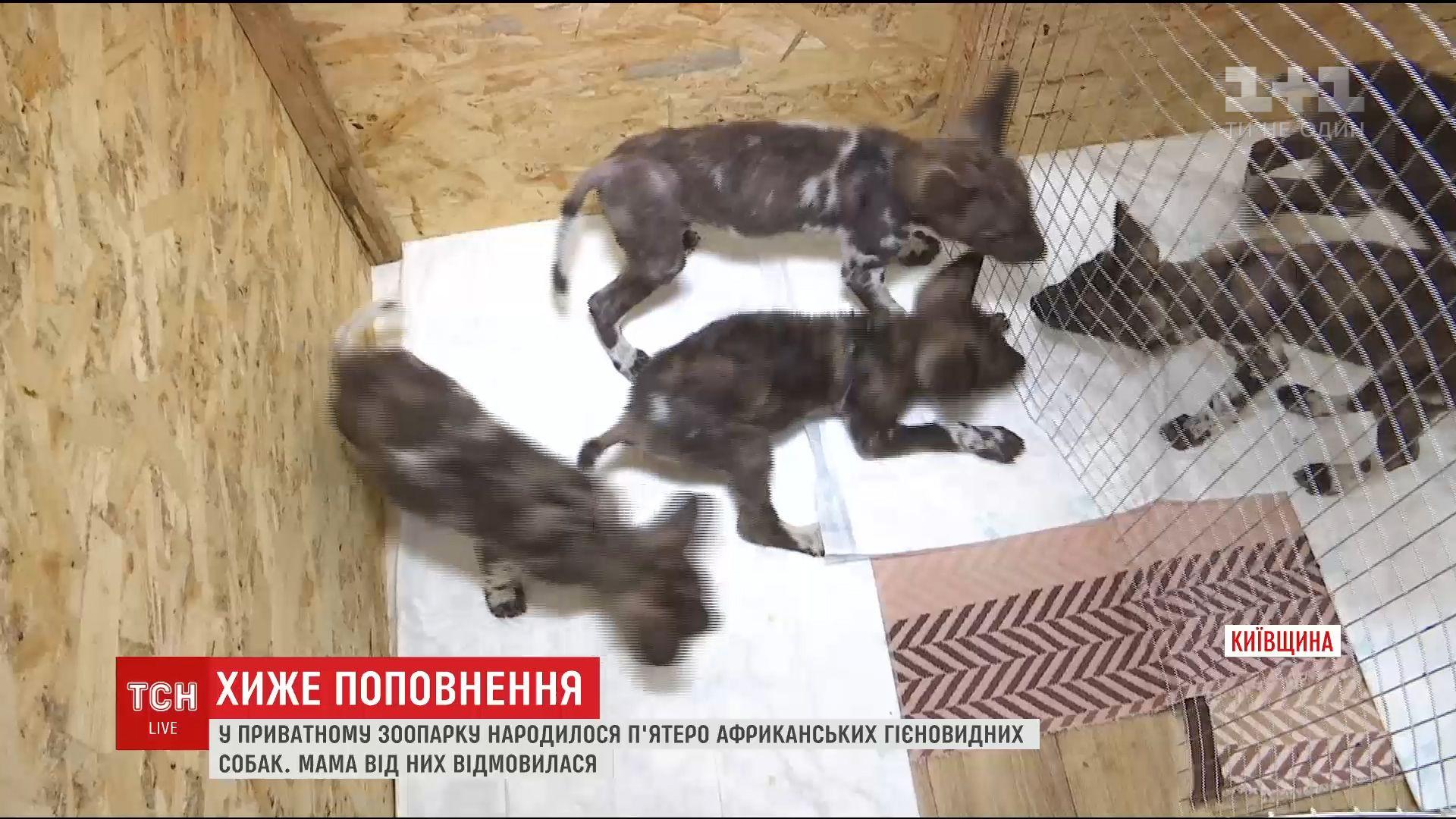П'ятеро африканських гиено-видних собак народилося в приватному зоопарку під Києвом /