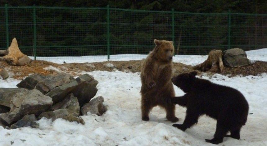 В России собираются признать медведей стратегическим объектом