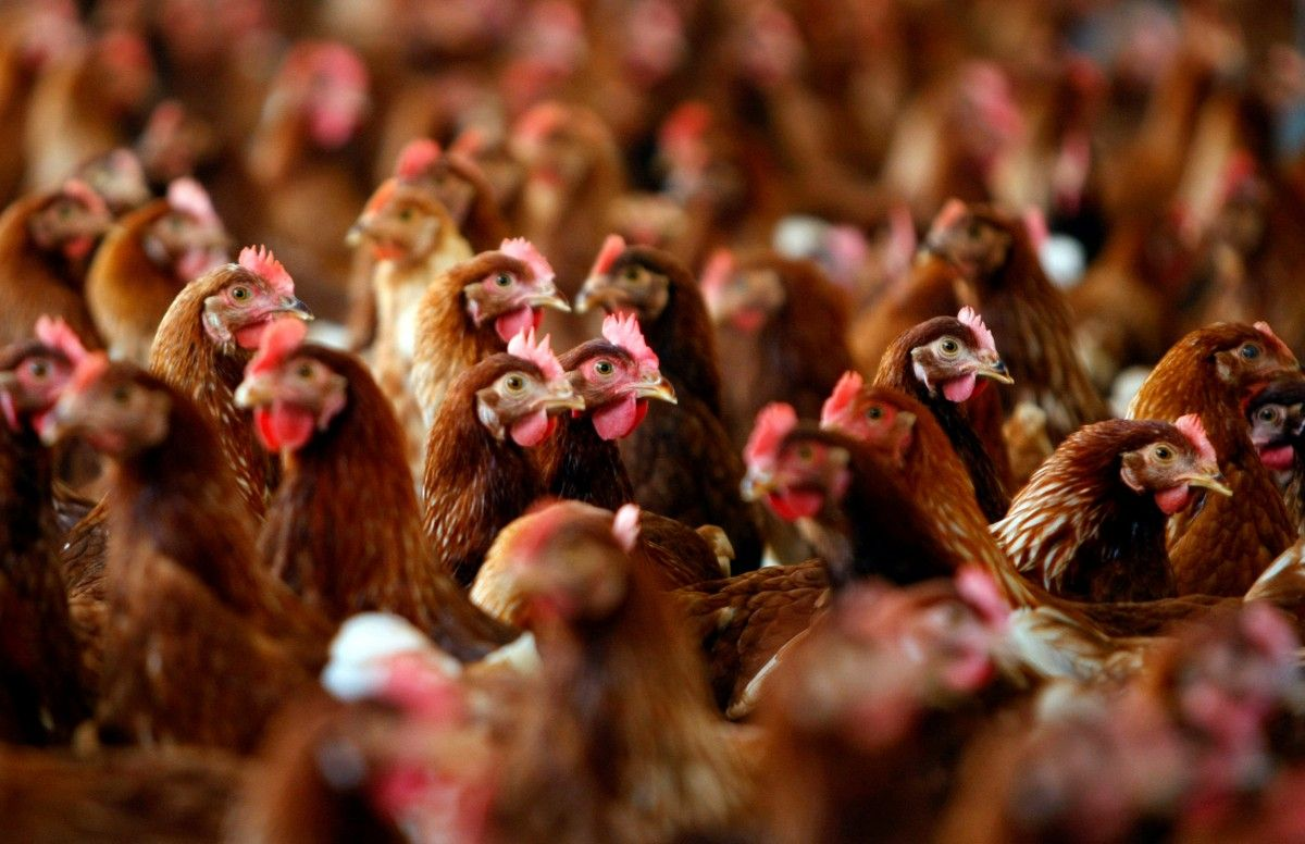 Украина входит в десятку стран-экспортеров мяса бройлеров / Иллюстрация REUTERS