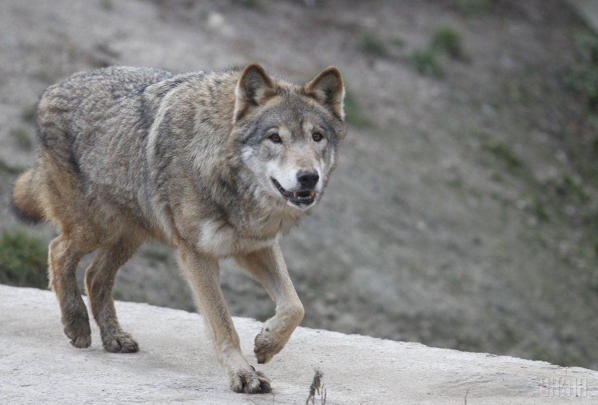 Вовки і лисиці почали навідуватися в села на Донбасі / УНІАН