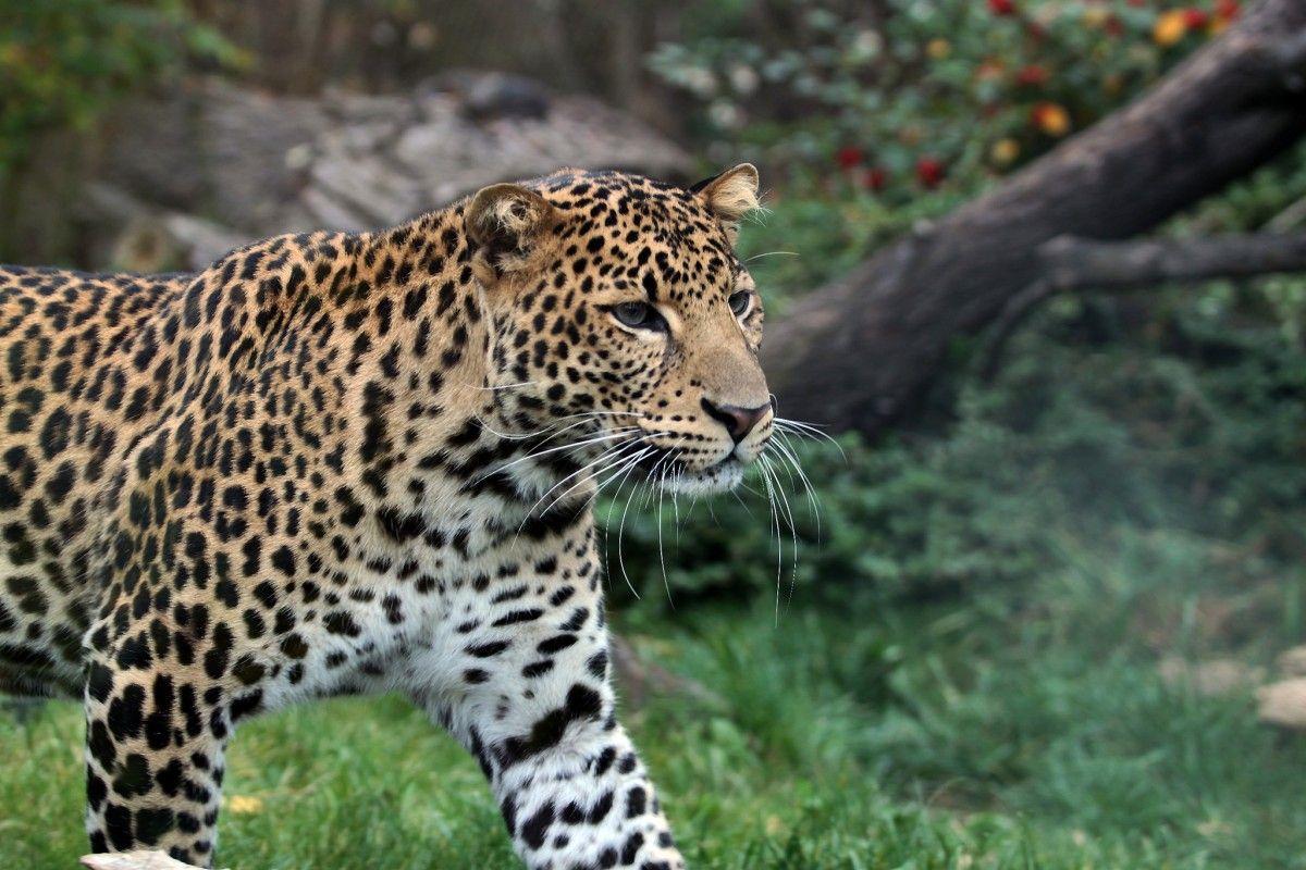 В дикой природе осталось не более 500 особей яванских леопардов / Фото Katerina Jisova via flickr.com