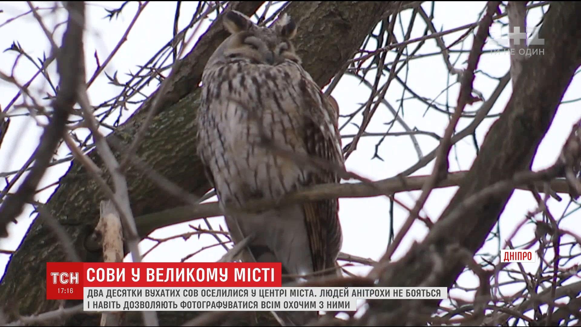 В центре Днепра поселились два десятка ушастых сов / ТСН