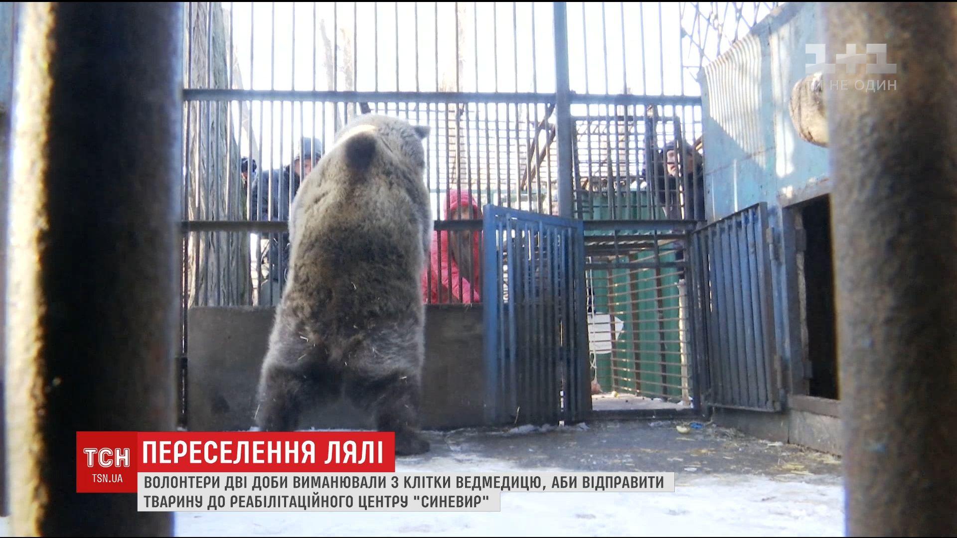 Волонтеры двое суток уговаривали медведицу выйти из клетки навстречу новой жизни / Кадр из видео ТСН