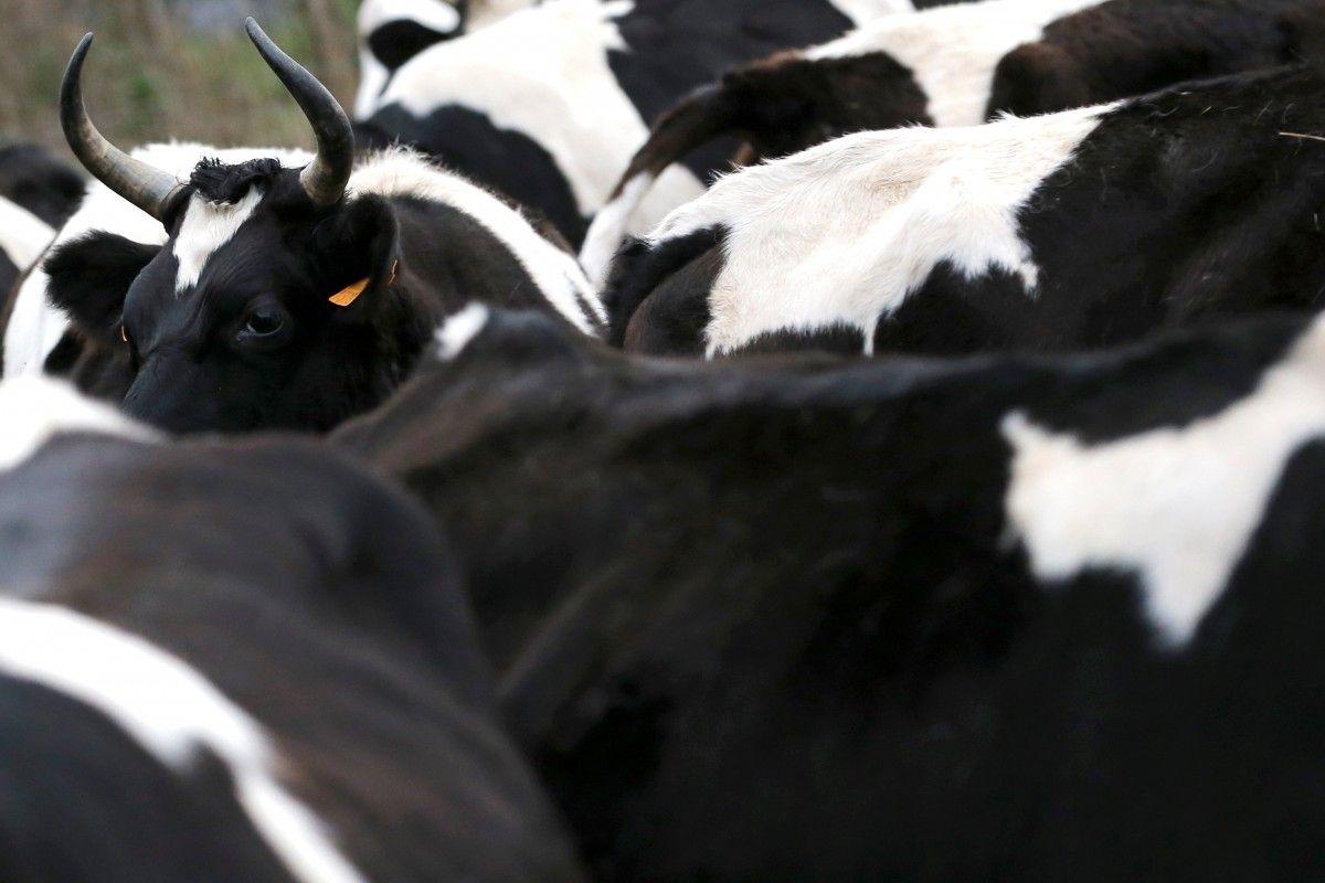 """""""Вони схожі на тінейджерів"""": в Канаді 150 корів ув'язалися за бобром, фермери дивуються"""