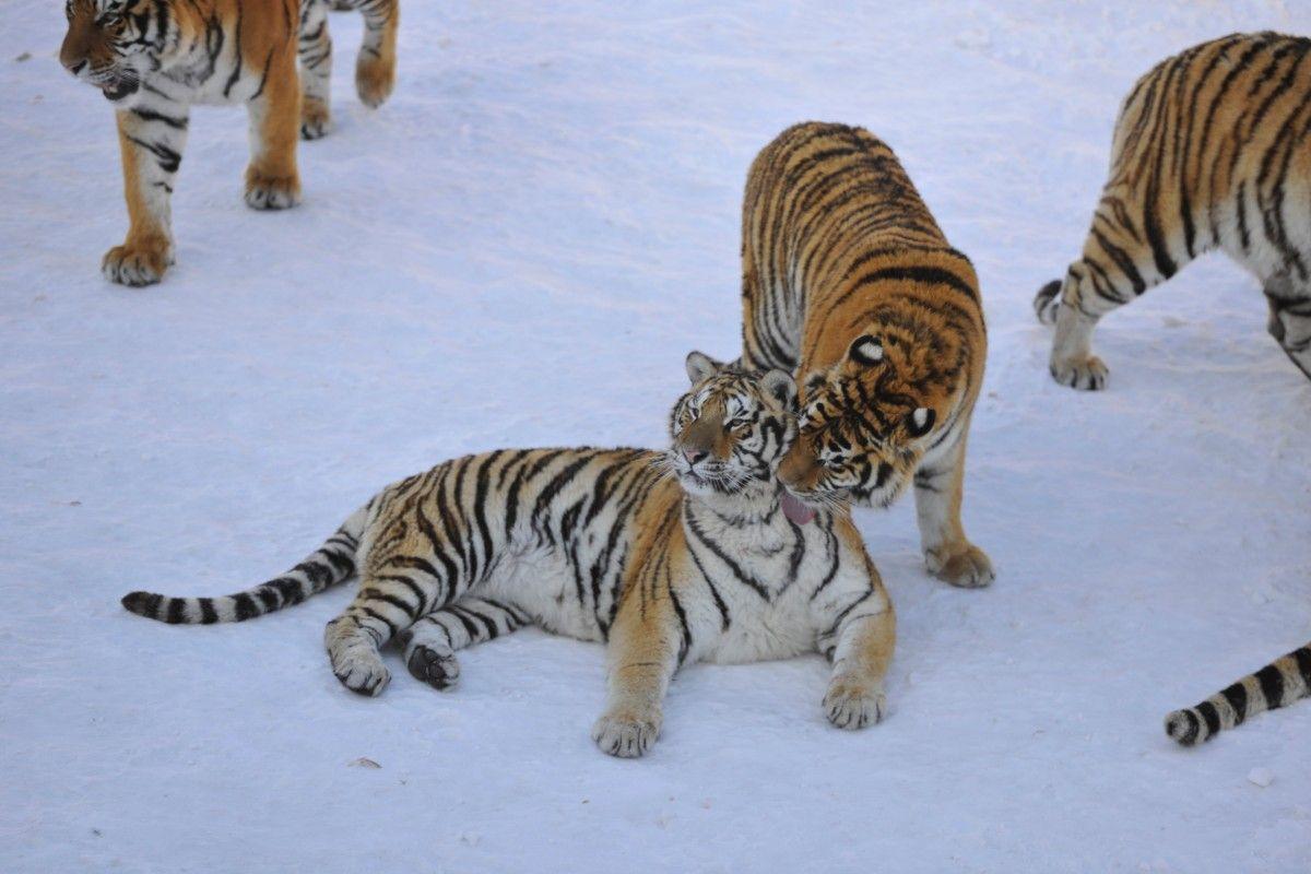 Гладкі тигри з китайського заповідника / Ілюстрація REUTERS