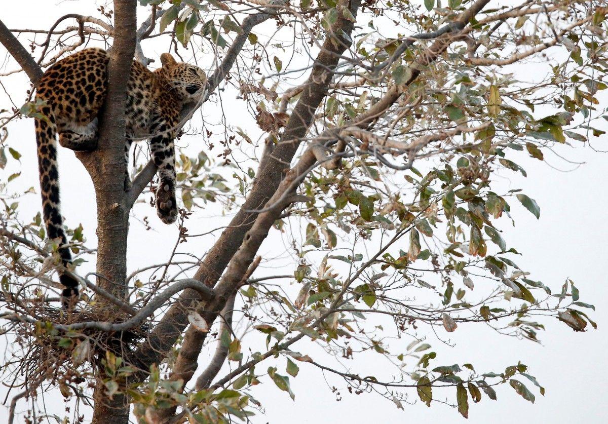 Переїзд панди з США до Китаю, сон дикого леопарда на дереві та інші новини зі світу тварин