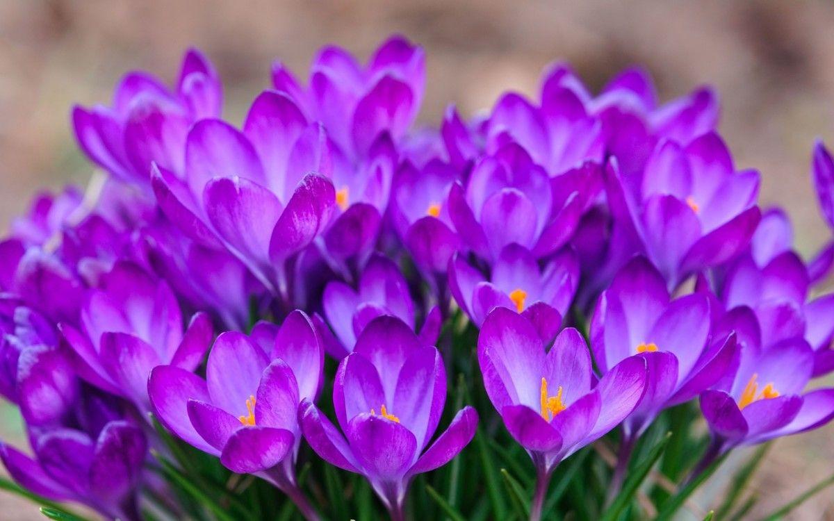 В Красную книгу Украины занесены многие раннецветущие растения, которые можно увидеть в продаже - например белоцветы, шафран (крокус), различные виды рябчика, сна / zelena-planeta.ua