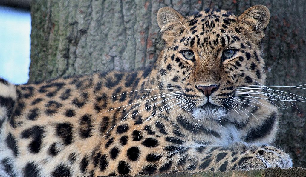 Далекосхідний, або амурський, леопард знаходиться на межі вимирання / liveinternet.ru