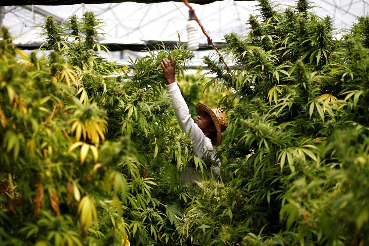 Жую марихуану злоупотребление коноплей