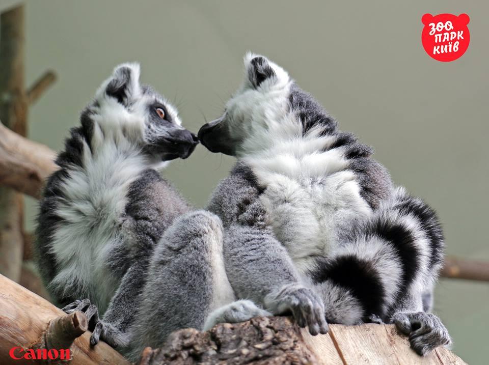 С приходом весны за самку подрались лемуры / facebook.com/zoo.kiev.ua