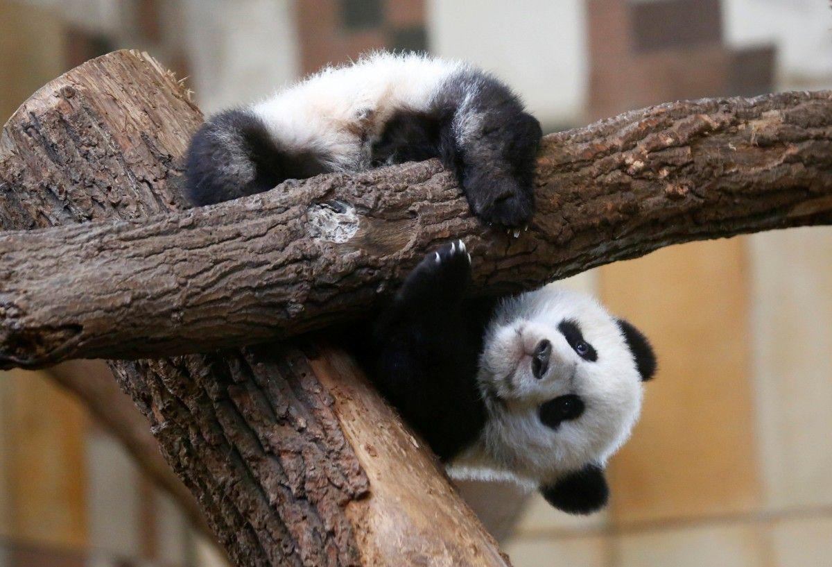 Порно панда видео