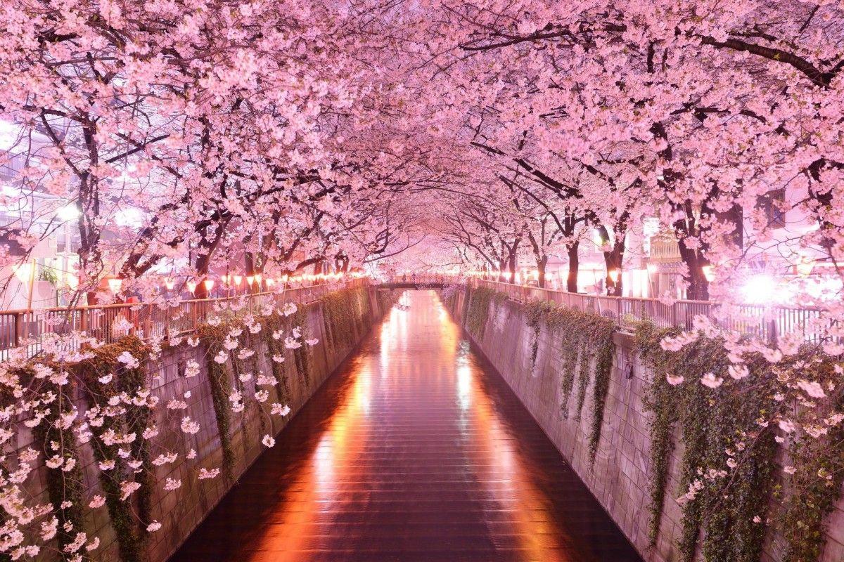 Цвітіння сакури / umad.com