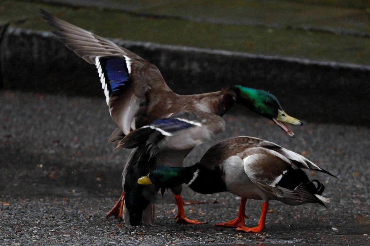 На Херсонщині качка стала причиною гучного скандалу / Ілюстрація REUTERS