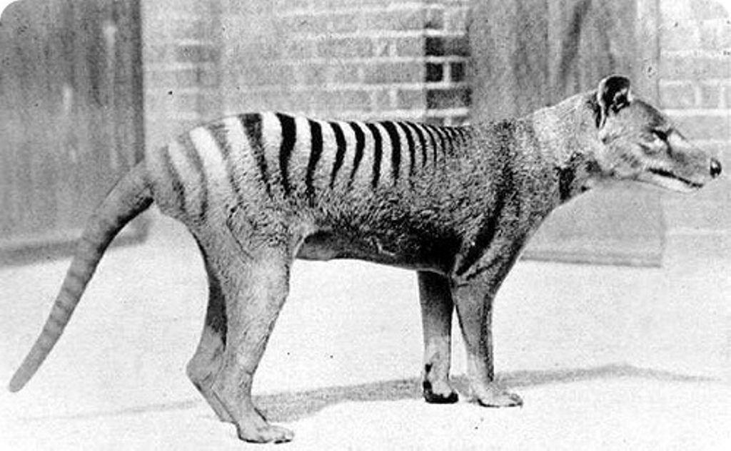 Прийнято вважати, що останній дикий сумчастий вовк був убитий в 1930 році / paranormal-news.ru