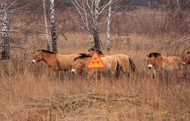Редкий вид животных - лошади Пржевальского - поселились в Зоне отчуждения / anton-petrus.livejournal.com