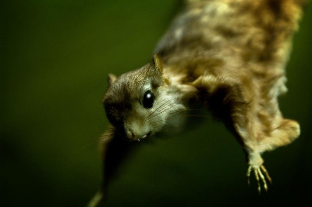 Білка-летяга / Фото Siggi Ragnar via flickr.com