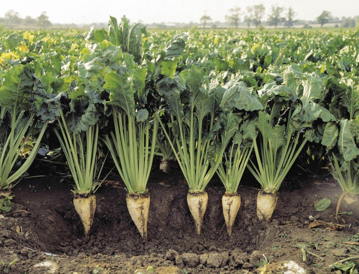 Украине прогнозируют сокращение урожая сахарной свеклы / zernoexport.com