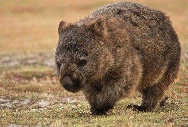 В Австралии вомбаты спасли от пожаров тысячи животных