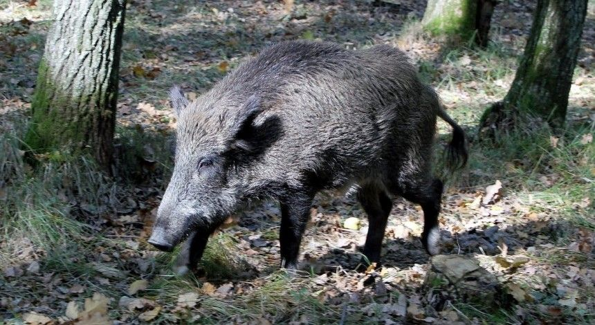 Чума свиней: небезпечне захворювання зафіксували одразу в трьох областях