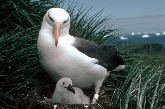 Некоторые колонии альбатросов не обследовались десятилетиями / twarini.com