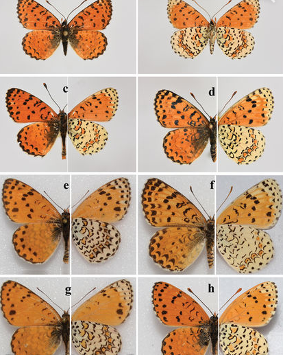 Бабочка очень похожа на других представителей этого рода / фото: Comparative Cytogenetics, 2017