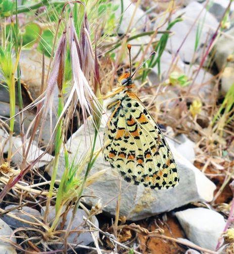 Метелик дуже схожа на інших представників цього роду / фото: Comparative Cytogenetics, 2017
