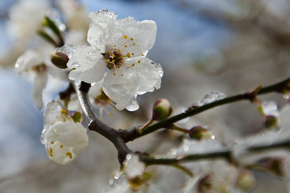 Ночью 21, 22 и 23 апреля в Украине, кроме крайнего юга и Закарпатья, заморозки на поверхности почвы 0...-5° / фото nkul.livejournal.com