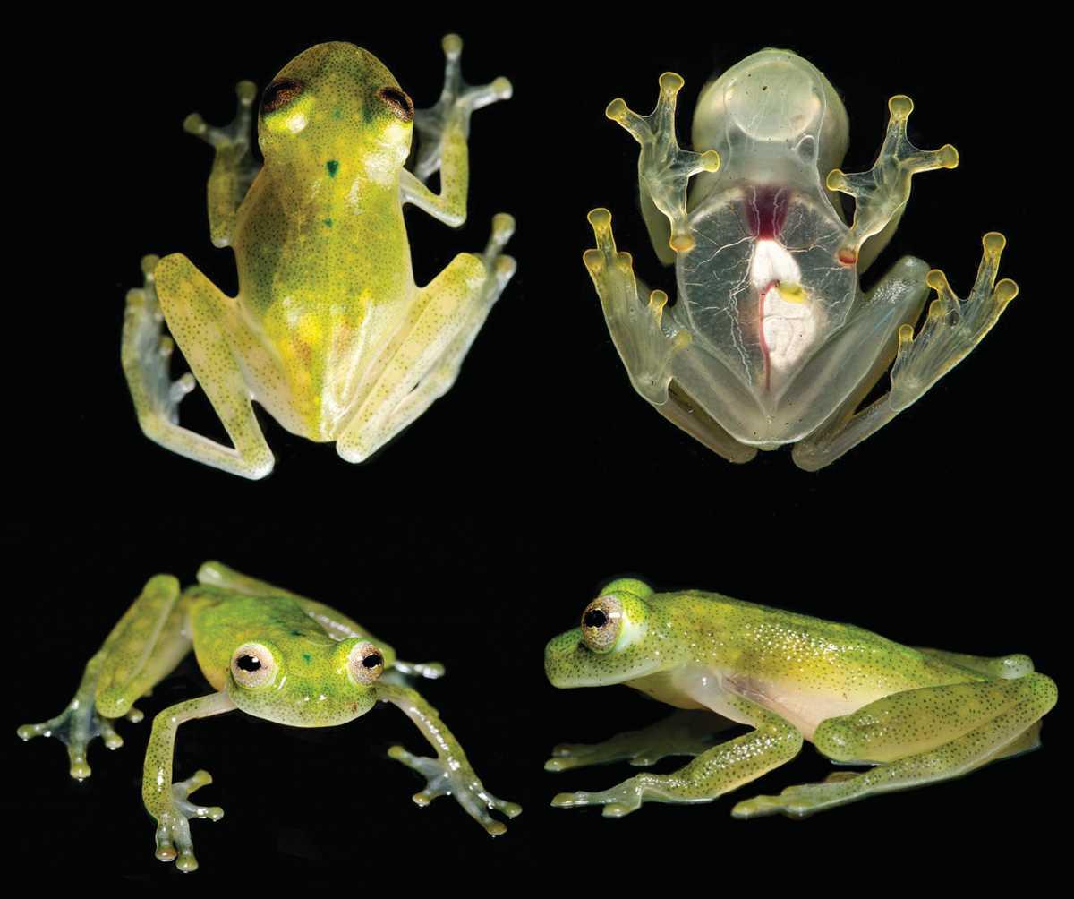 ВЭквадоре найден новый вид «прозрачных» лягушек