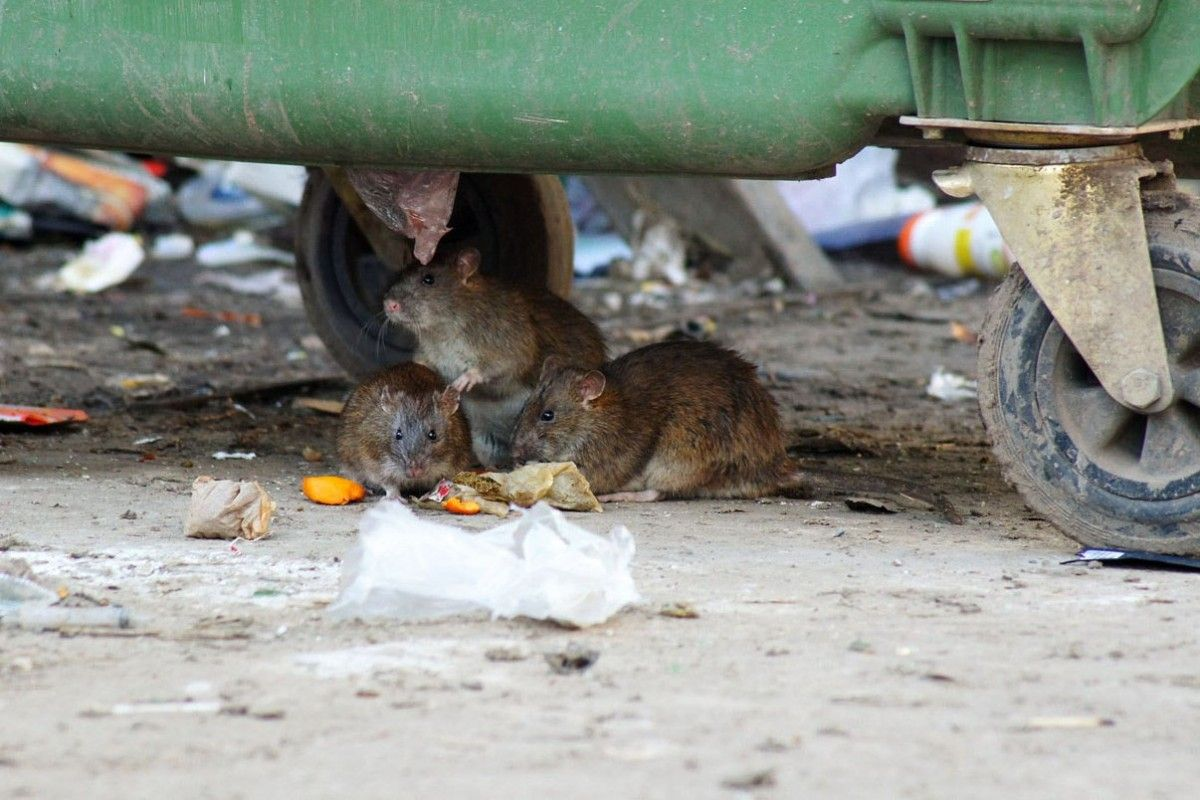 На львів'янку напав щур / фото spravzkh.ru