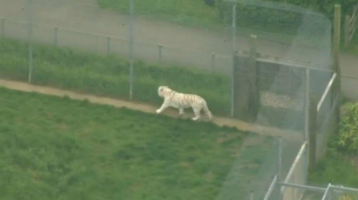 Тигр в зоопарке Hamerton / REUTERS
