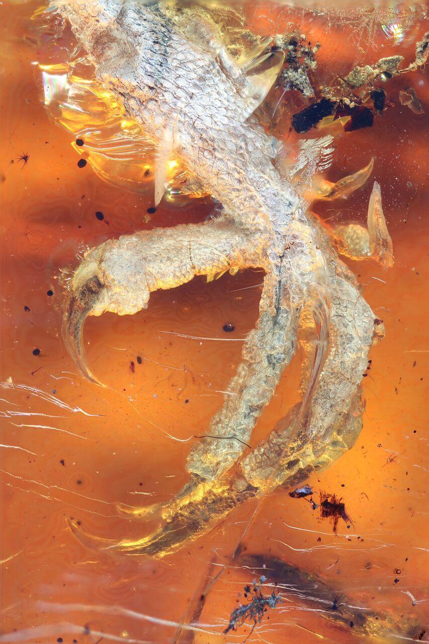 Птенец ископаемой птицы застыл в янтаре / Фото: Ming Bai/Chinese Academy of Sciences