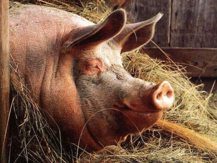 У Мексиці фермер загинув після п'яної бійки зі своєю свинею