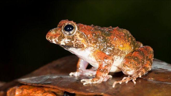 Аспирантка обнаружила новый вид лягушек / фото bbc.com