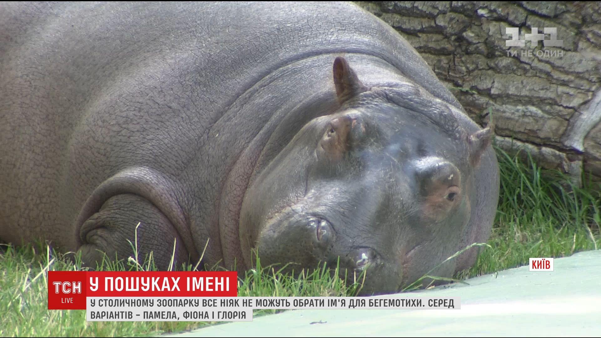 Памела, Фиона или Глория: в столичном зоопарке выбирают имя для маленькой бегемотихи