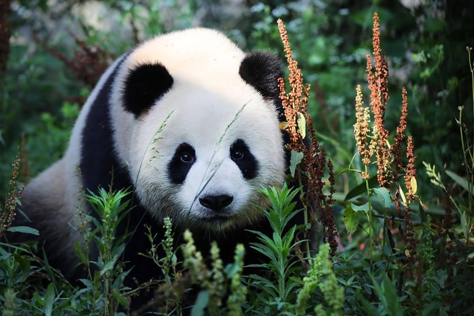 В Берлинском зоопарке появилась пара больших панд / фото facebook.com/zooberlin