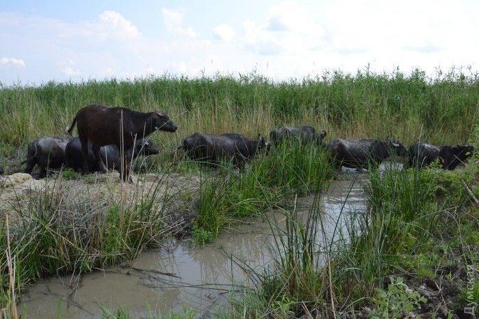 популяция буйволов растет / фото Думская