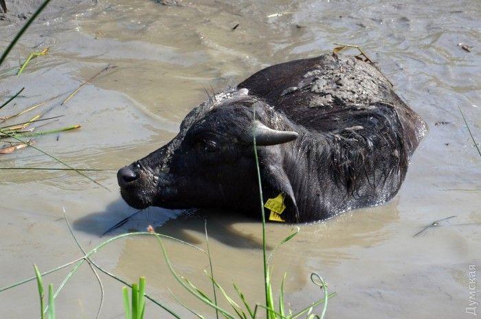 В даний час буйволи повністю адаптувалися / Думська